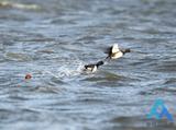 国家5A级景区柴河迎来今年首次候鸟迁徙高峰