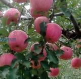 魅力乡村:亚洲第一高山果园-寺河山苹果